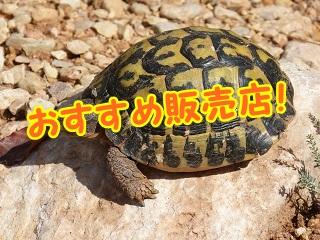 mediterranean-tortoise-1693852_960_720